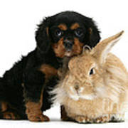 King Charles Spaniel And Rabbit Poster