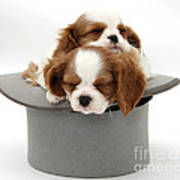 King Charles Spaniel Puppies Poster