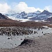 King Penguin Breeding Colony Poster