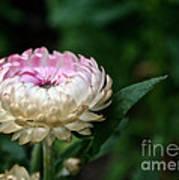 King Rose Strawflower Poster