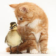 Kitten And Duckling Poster