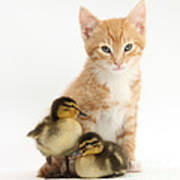 Kitten And Ducklings Poster