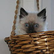 Kitten In Basket Poster