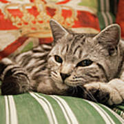 Kitten Lying On Striped Couch Poster by Kim Haddon Photography