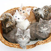 Kittens In Basket Poster