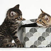 Kittens Playing With Box Poster