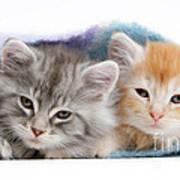 Kittens Under Blanket Poster
