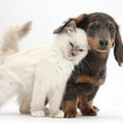 Kitty Rubbing Against Dachshund Poster