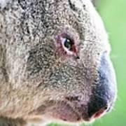 Koala Profile Portrait Poster by Johan Larson