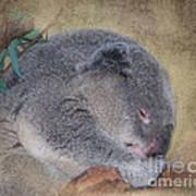 Koala Sleeping Poster by Betty LaRue