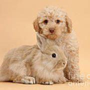 Labradoodle Puppy With Rabbit Poster