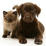 Labrador Pup And Birman-cross Kitten Poster