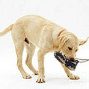 Labrador X Golden Retriever Puppy Poster by Jane Burton