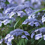 Lace Cap Hydrangeas In Bloom Poster