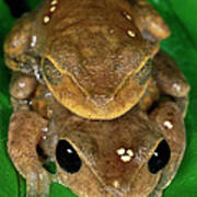 Lacelid Frog Nyctimystes Dayi Pair Poster