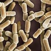 Lactobacillus Bacteria, Sem Poster by Dr Kari Lounatmaa