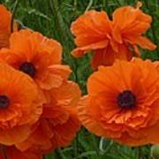 Lacy Poppies Poster
