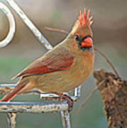 Lady Cardinal With Her Crown On Poster