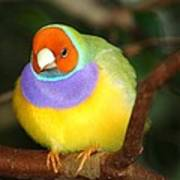 Lady Gouldian Finch Poster