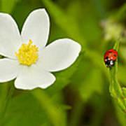 Ladybird Beetle Poster