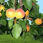 Lake Country Apricots Poster