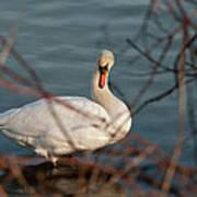 Lake Ontario Swan Poster