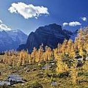 Larch Trees From The Saddleback Trail Poster