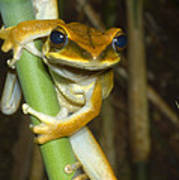 Large Arboreal Hylid Frog Poster