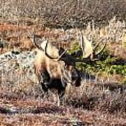 Large Bull Moose Poster