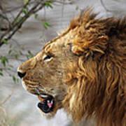 Large Male Lion Profile Portrait Poster