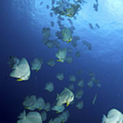 Large School Of Batfish, Christmas Poster