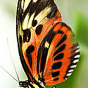 Large Tiger Butterfly Poster
