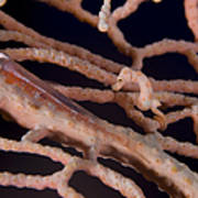Large Whip Goby And Pygmy Seahorse Poster