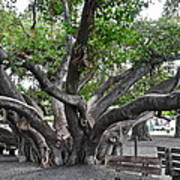 Largest Banyan Tree in the USA Poster