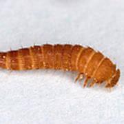 Larva Of Black Carpet Beetle Poster
