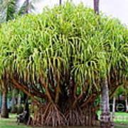 Lauhala Tree Poster