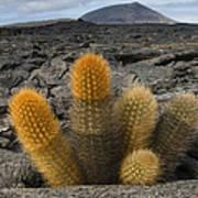 Lava Cactus Brachycereus Nesioticus Poster