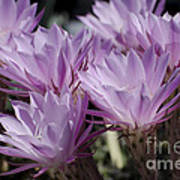 Lavender Cactus Flowers Poster