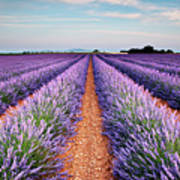 Lavender Field In Blossom Poster