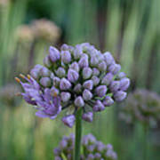 Lavender Flowering Onion Poster