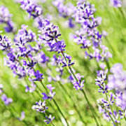Lavender In Sunshine Poster