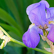 Lavender Iris On Green Poster