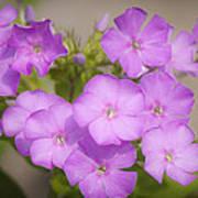 Lavender Phlox Poster