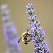 Lavender Visitor Poster