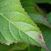 Leaf Blemish Poster