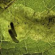 Leaf Miners In A Dock Leaf Poster by Vaughan Fleming