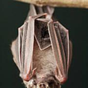 Leaf-nosed Bat Phyllostomidae, Amazon Poster