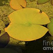 Leaf On A Pond Poster
