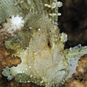 Leaf Scorpionfish, Indonesia Poster