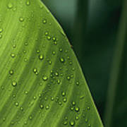 Leaf With Water Drops, Barro Colorado Poster